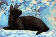 Młoda nastoletnia shorthair figlarka na błękitnym tle Fotografia Royalty Free
