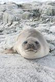 Młoda południowa słoń foka na skałach. Obraz Royalty Free