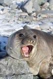Młoda południowa słoń foka to Fotografia Royalty Free