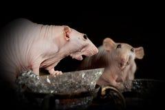 Modas que sorprenden la rata Fotografía de archivo libre de regalías