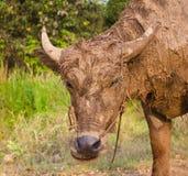 Modderige buffels. Stock Fotografie