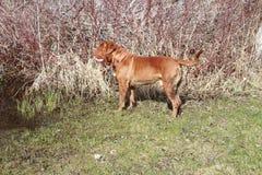 Modderige hond Stock Foto's