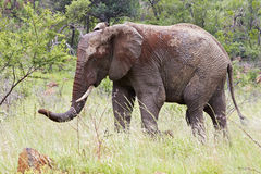 Modderige olifant Royalty-vrije Stock Foto's