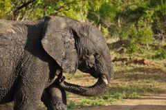 Modderige Olifant Stock Foto