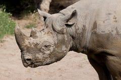 Modderige zwarte rinoceros Stock Foto
