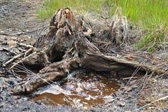 Moddervulkaan met borrelend bruin water onder oude zegel met wortels stock afbeelding