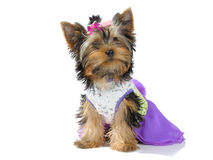 Mode. Yokshirsky Terrier Puppy wants to be beautiful Royalty Free Stock Image