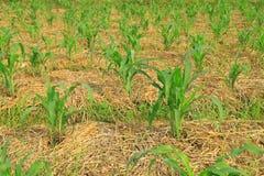Kukurydzane rośliny Obraz Royalty Free