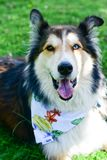 Modecolliehund royaltyfri fotografi