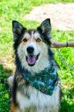 Modecolliehund royaltyfri foto