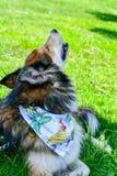 Modecolliehund arkivfoto