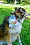 Modecolliehund arkivbilder