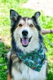 Modecolliehund arkivbild