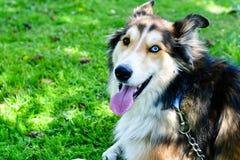 Modecolliehund arkivfoton