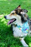 Modecolliehund royaltyfria bilder