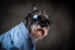 Modehundbegrepp Gullig trendig skotsk terrier som bär en blå skjorta och solglasögon på en grå bakgrund royaltyfri fotografi