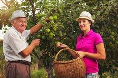 Młodej kobiety pomoc stary człowiek w sadzie, podnosić jabłka Zdjęcia Royalty Free