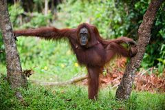 Model. The female of the orangutan poses, having accepted a pose between trees. A green background of wood Royalty Free Stock Photos