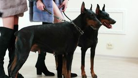 Model in blue fur coat holding two black and brown dobermans on leather leashes, backstage. Model in blue fur coat holding two black and brown dobermans on stock footage