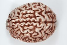 Model of a Brain. On neutral background stock image