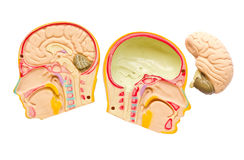 Model of the brain in the skull. Stock Photos