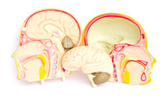 Model of the brain in the skull. Royalty Free Stock Photo