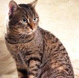 Model cat portrait. Model cat portrait on the sheep leather Stock Image