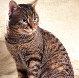 Model cat portrait. Cat sit on the sheep leather Stock Photos