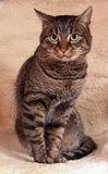 Model cat portrait. Cat sit on the sheep leather Stock Images