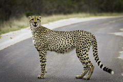 Model Cheetah Stock Photography