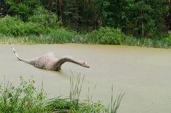 Model of a dinosaur Diplodocus in a swamp.  Royalty Free Stock Images