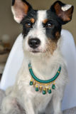 Model dog. Soda the fashion puppy looking good with her necklace Stock Photo