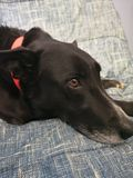 Model doggo royalty free stock photography