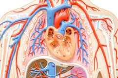 Model human body with liver, kidney, lungs and heart. Stock Photography