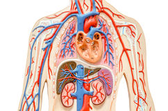 Model human body with liver, kidney, lungs and heart. stock images