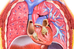Model human body with lungs and heart. Open artificial model human body with lungs and heart Royalty Free Stock Images