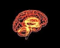 Model of the human brain. Stock Photos