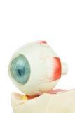 Model human eye isolated on white background Royalty Free Stock Images