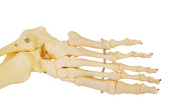 Model of a human foot, with all the toes bones and the ankle. Stock Images