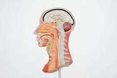Model of human head Stock Image