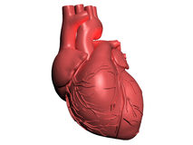 Model of human heart Royalty Free Stock Photo