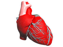 Model of   human heart Royalty Free Stock Photos