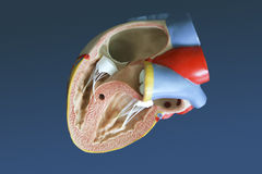 Model of the human heart. Medical model of the human heart royalty free stock photography