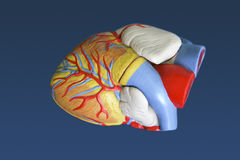 Model of the human heart. Medical model of the human heart royalty free stock images