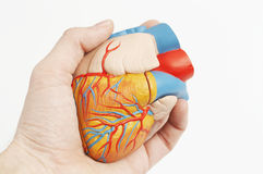 Model of a human heart in a real hand. Anatomic model of a human heart in a real hand stock images