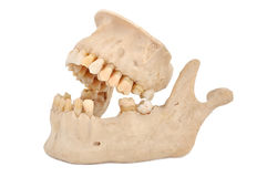 Model of human jaw Stock Photography