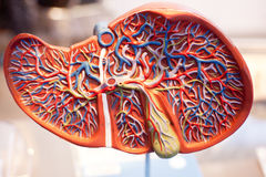 Model of human organs, the liver Royalty Free Stock Image