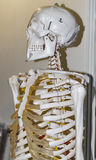 Model of human skeleton Royalty Free Stock Photos