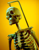 Model of a Human Skeleton Stock Photography