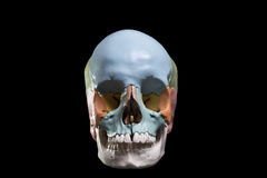 Model of a human skull. Front view model skull,cranial bones are differentiated by colors Stock Photos